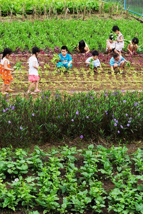 Những khóm hoa nhiều màu sắc được trồng xem kẻ để tô điểm cho vườn rau xanh.