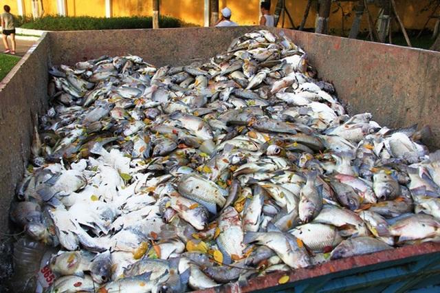 Cá chết vớt lên được khử bằng hóa chất để tránh mùi hôi