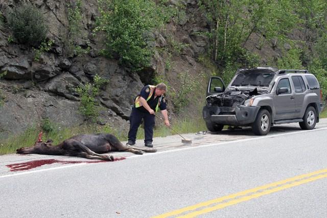 Hiện trường một vụ đâm giữa ô tô và nai sừng tấm.