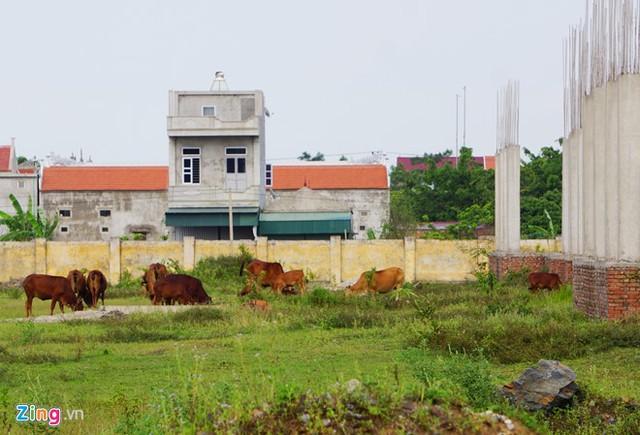 Dự án đại học Hoa Lư Ninh Bình dùng làm nơi thả trâu bò