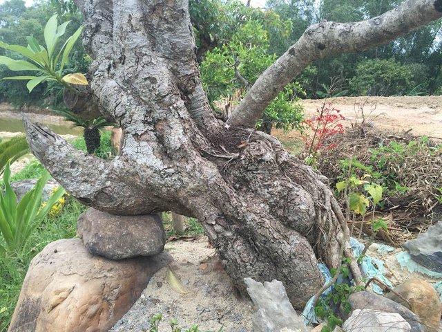 Gốc cây sứ trắng cổ có mặt trong biệt phủ. Loại cây này ở Huế chỉ có tại Đại nội và lăng Tự Đức