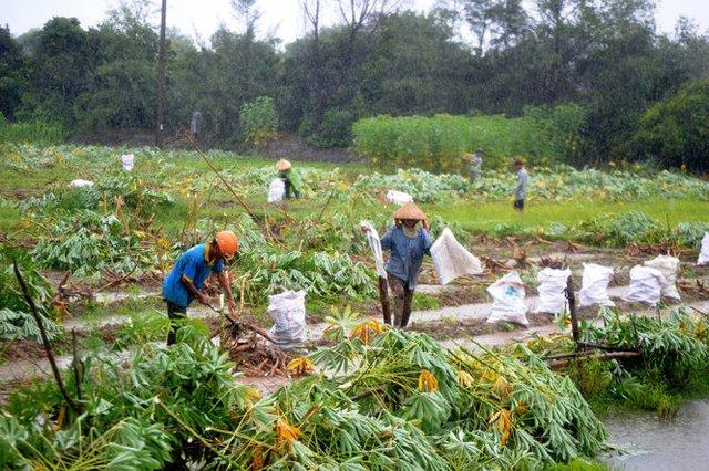 Nhiều diện tích trồng sắn ở xã Tam Thăng phải thu hoạch sớm tránh mưa bão - Ảnh: LÊ TRUNG