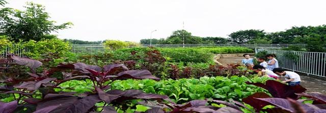 Diện tích trồng rau khá rộng với những loại rau rất quen thuộc như rau rền, rau mùng tơi….