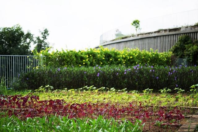 Rau xanh không chỉ cung cấp nguồn thực phẩm sạch cho các con mà còn tạo nên không gian xanh mát trong lành cho ngôi trường.