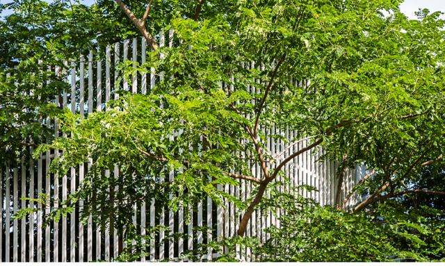 Nhờ bức tường rào thưa tán cây còn đâm tỏa xum xuê ra bên ngoài.