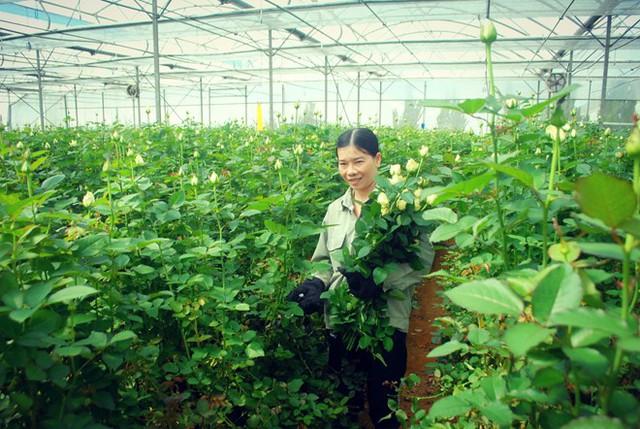 Giá hoa hồng tại Đà Lạt tăng mạnh nhưng các nhà vườn không còn nhiều hàng để bán. Ảnh: Thạch Thảo.