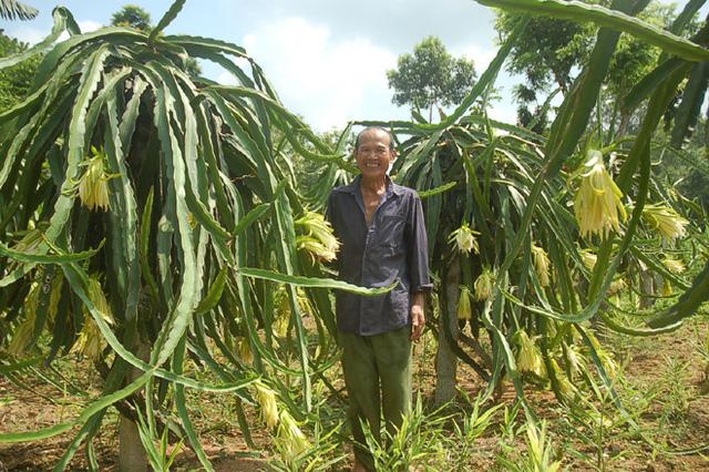 Thanh long vỏ đỏ ruột trắng, ruột đỏ rất phổ biến ở Việt Nam, nhưng riêng loại thanh long vàng lại khá hiếm.Trước đây, tại Bình Thuận có một số hộ từng trồng thử nghiệm nhưng vì không phù hợp nên ngưng dần.