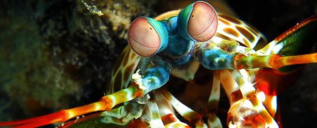 Bạn có bất ngờ khi đó là một loài tôm dưới đại dương?