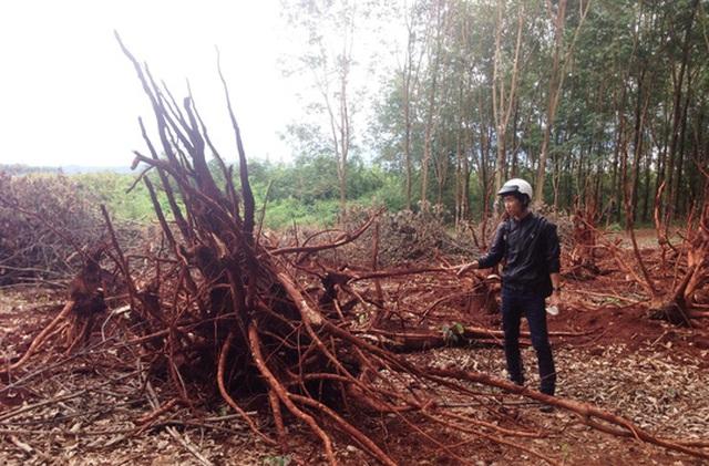 Vườn cây cao su đang thời kỳ thu hoạch bị chặt hạ chỉ còn trơ gốc