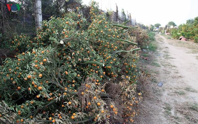 Chưa đến Tết Nguyên Đán nhưng nhiều chủ vườn Quất tại Nhật Tân đã phải vứt bỏ nhiều gốc Quất trĩu quả sớm.