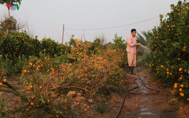 Chủ vườn Quất này cho biết, nhà ông trồng 400 gốc Quất cho Tết năm nay nhưng đến thời điểm này đã bị chết mất 1 nửa.