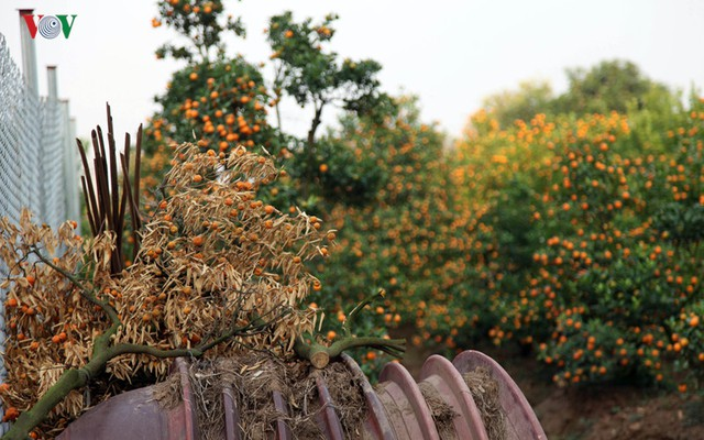 Bên cạnh những cây Quất khô chết phải vứt đi, những cây còn sống thì quả cũng đã vàng ươm, khó có thể đợi đến dịp Tết Nguyên Đán.