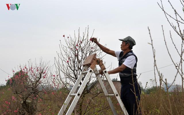 Họ hy vọng với những cách hạn chế nở hoa sớm, những cây Đào này vẫn kịp phục vụ thị trường sau 3-4 tuần nữa.