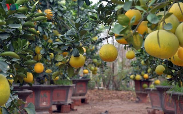 Chủ vườn Bưởi cảnh này cho biết, hàng ngày có khoảng 5-10 gốc được bán ra tùy thời điểm , với giá khoảng 4 triệu đồng.