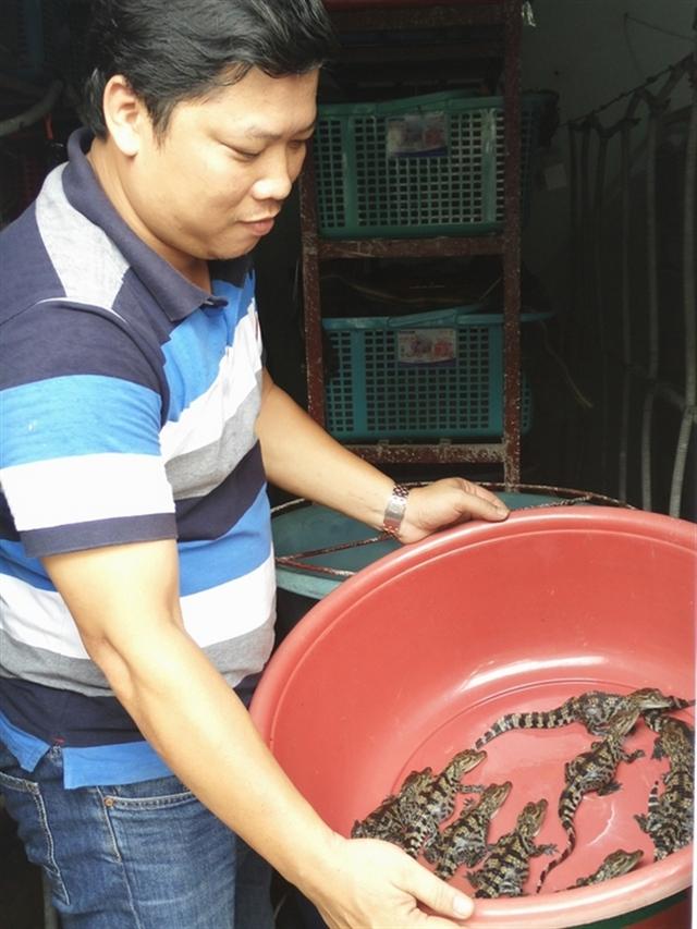 Chủ nhiệm HTX cá sấu giống Nam bộ (Q12, TP.HCM) đang lo lắng giữ nghề nuôi cá sấu