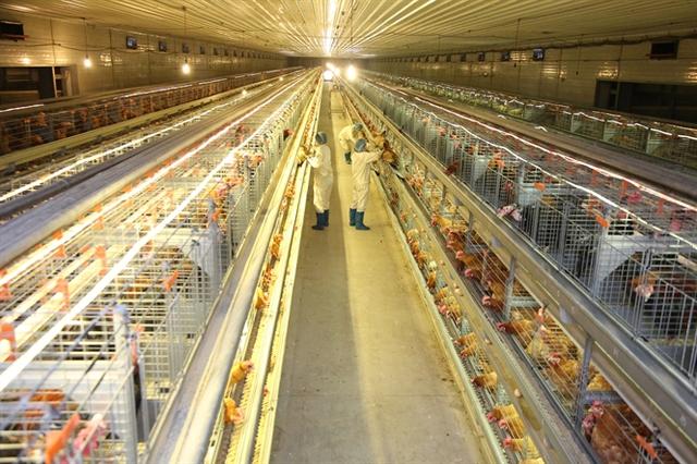 Để mở rộng quy mô SX, ngành chăn nuôi buộc phải vươn ra XK