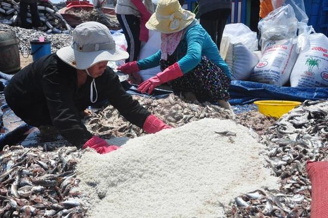 Cá được ướp muối để làm mắm theo phương pháp truyền thống (Ảnh: M.Toàn/baoquangngai.vn)