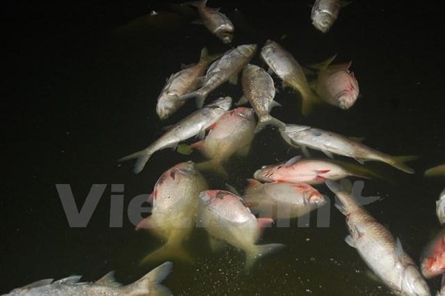 Cá nổi trắng hồ Nam Linh Đàm (Ảnh: Sơn Bách/Vietnam+)