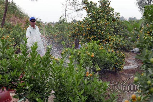 Vườn quất Quang Trường có khoảng 300 cây. Mỗi ngày 2 lần anh Quang, chủ vườn bơm nước tưới cây. Tỉ lệ cây chết khá ít do anh Quang có nhiều kinh nghiệm trong chăm sóc cây. Theo chủ nhân, năm nay dự kiến chỉ lãi khoảng 100 triệu đồng vì chất lượng thấp.