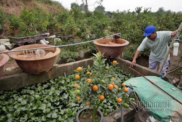 Theo anh Quang, nếu trồng rau thì lãi hơn nhiều, tuy nhiên đây là làng nghề truyền thống trồng quất nên phải cố theo nghề. Anh Quang còn đầu từ thêm hệ thống bơm để chủ động tưới nước mỗi ngày.
