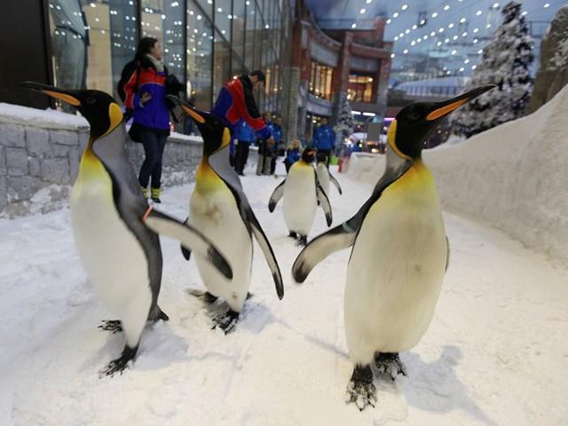Khu trượt tuyết giữa sa mạc: Dubai lại làm một điều tưởng chừng như không thể - xây khu trượt tuyết giữa sa mạc. Ski Dubai nằm trong khu mua sắm Mall of the Emirates có 5 đường trượt, cáp treo, dốc nhảy… không khác gì một resort thật sự. Ban quản lý còn tạo ra một thế giới mùa đông kỳ diệu, với chim cánh cụt và tượng điêu khắc bằng băng. Ảnh: Business Insider.