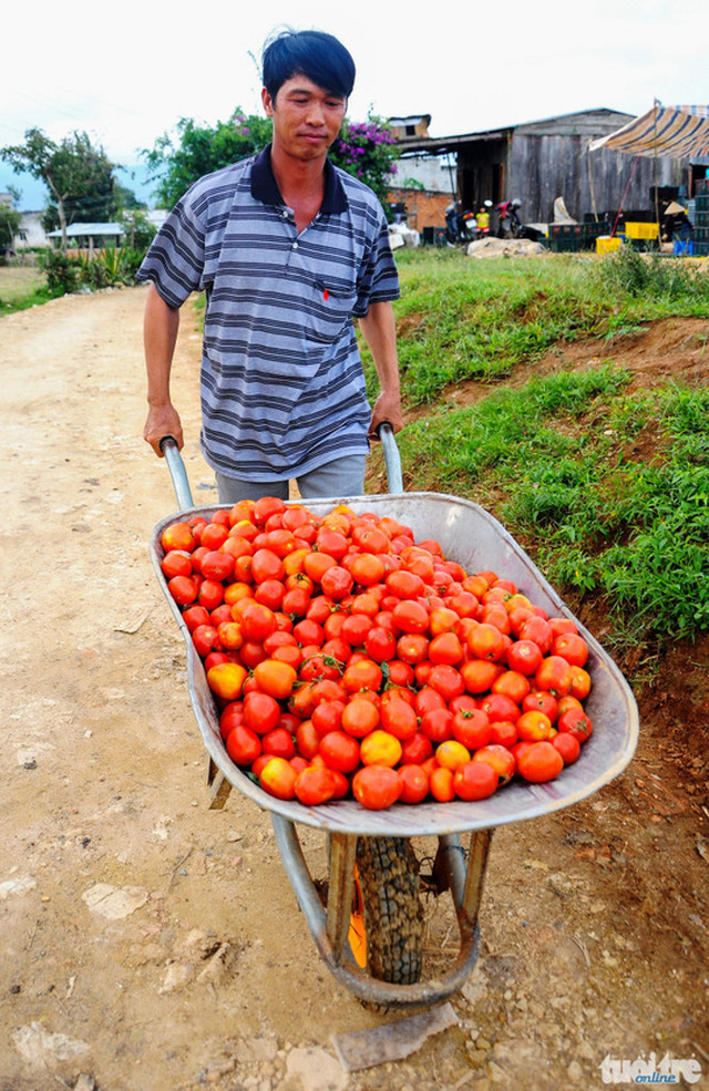 Anh Nguyễn Thanh Trung (xã Ka Đơn) chở cà chua về cho... bò ăn - Ảnh: Lâm Thiên
