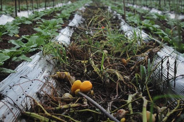Nhiều diện tích cà chua đã bị nhổ bỏ để thay thế bằng nhiều loại cây trồng mới. Ảnh: Phạm Oanh.
