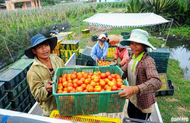 Các chủ vựa lọc kỹ bỏ phần lớn những quả cà chua sần sùi, hư hỏng khiến nông dân thất thu nghiêm trọng - Ảnh: Lâm Thiên