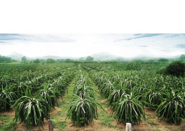 Bên ngoài nhà máy được trồng nhiều loại cây ăn quả như: đu đủ, chuối, dừa...và đặc biệt là cây thanh long được trồng rất nhiều.