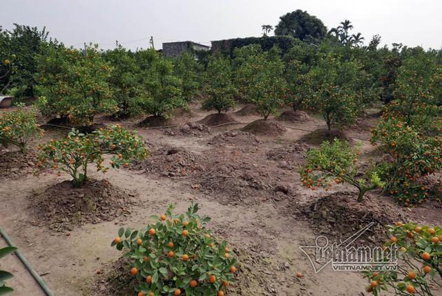 Theo ước tính của hợp tác xã nông nghiệp phường Tứ Liên, người trồng quất cảnh ở địa phương năm nay có nguy cơ thiệt hại hàng chục tỷ đồng
