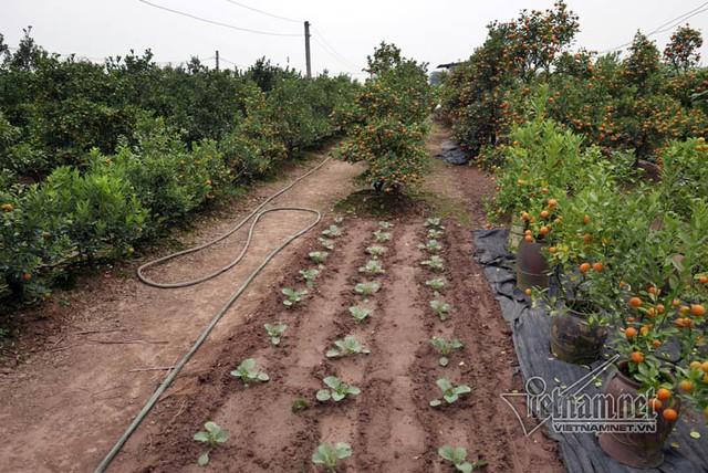 Những gốc quất chết khô được đánh đi, nhường chỗ cho rau xanh