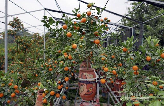 Theo người trồng quất, giá cả năm nay dự kiến có tăng nhưng không đột biến. Những cây đẹp giá sẽ cao hơn hẳn năm ngoái vì số lượng không nhiều.