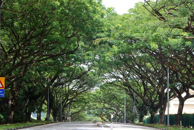 Cây mưa, loại cây tán rộng, xòe ra như những chiếc ô che mưa che nắng, được chọn để trồng bên các tuyến đường tại Singapore.