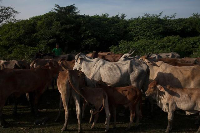Những con bò gầy gò ở Portugesa.