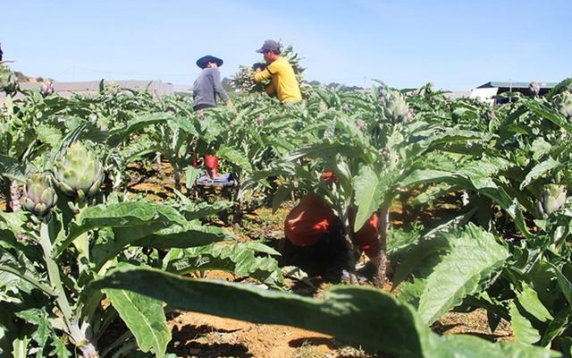 Theo thông tin từ Hội Nông dân TP Đà Lạt, địa phương hiện có khoảng 100 ha atiso (Ảnh: Zing)
