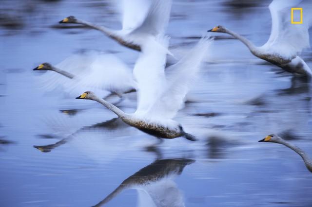 """""""To Live"""", bức ảnh chụp bầy thiên nga của nhiếp ảnh gia Hiromi Kano giành vị trí thứ 2 cho chủ đề thiên nhiên."""