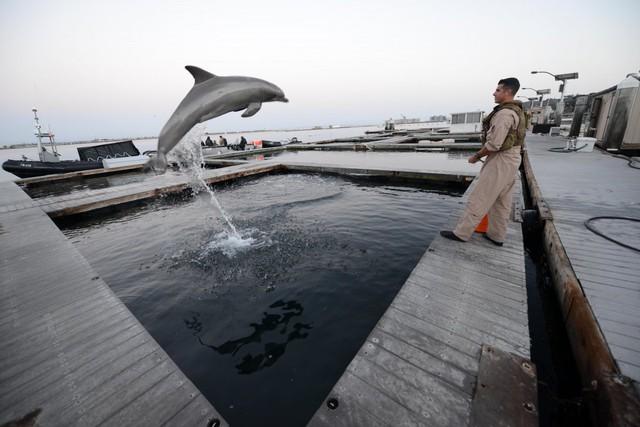Các nhà nghiên cứu sớm biết rằng cá heo có hệ thống dò sonar tuyệt vời, giúp chúng dễ dàng phát hiện các vật thể dưới nước, bao gồm mìn hay người nhái hải quân của đối phương. Những lợi thế này giúp cá heo được dùng để bảo vệ các kho vũ khí hạt nhân và phát hiện sớm kẻ thù.