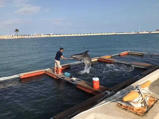 Tuy nhiên, mỗi con cá heo cần trải qua quá trình huấn luyện gian nan để có thể phục vụ như một biệt kích trong Hải quân Mỹ.