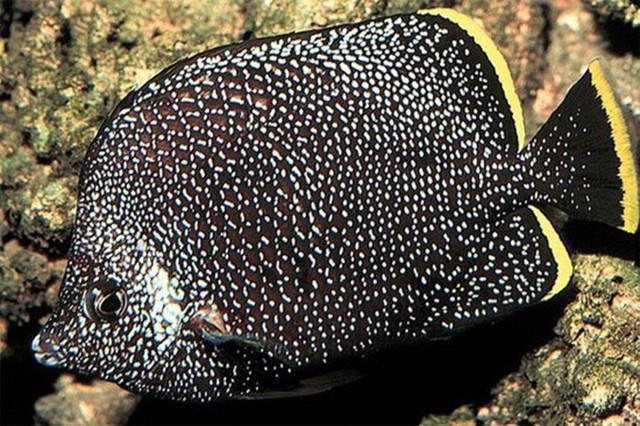 Cá bướm Wrought Iron thường xuất hiện ở vùng biển Nhật Bản. Loài cá này có màu xám đen với các chấm màu và điểm nhấn chính là viền màu vàng ở phía đuôi (2.700 USD/con)