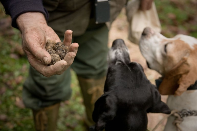 Những chú chó sẽ tìm thấy vị trí của nấm nhờ hương vị đặc biệt và chỉ cho chủ nhân của chúng.
