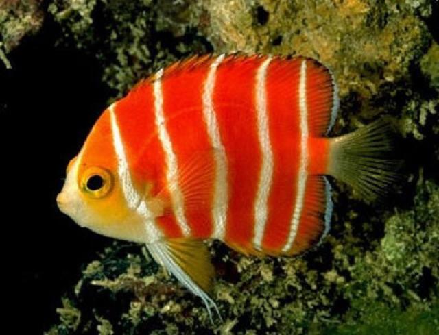 Cá thiên thần Peppermint là dòng cá hiếm, nổi bật với các sọc đỏ và trắng (30.000 USD/con)