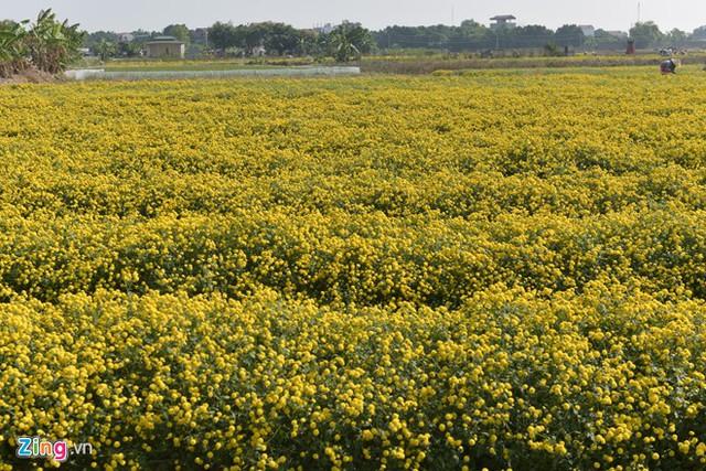 Cánh đồng hoa cúc chi tại thôn Nghĩa Trai (Tân Quang, Văn Lâm, Hưng Yên) đã nở vàng rực trước Tết Nguyên đán hơn 3 tuần.