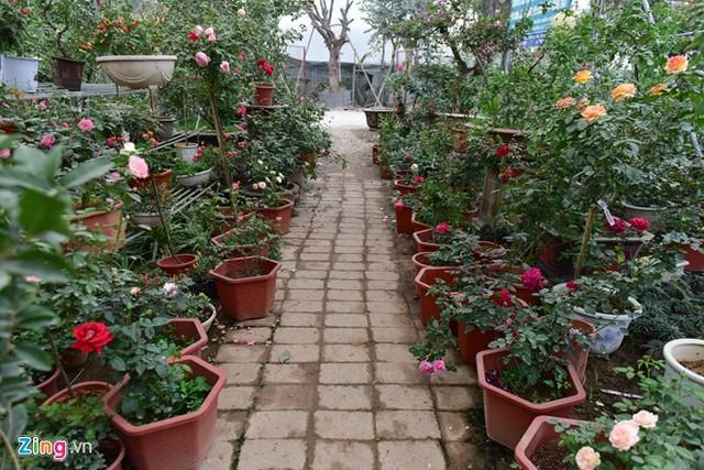 Nếu như năm trước, các nhà vườn ở Xuân Quan (Văn Giang - Hưng Yên) trồng nhiều loại hoa thân thảo thì năm nay họ chuyển hẳn sang trồng hoa hồng để đáp ứng nhu cầu của khách.