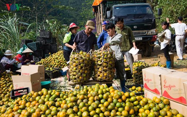 Đang vào vụ thu hoạch rộ, vùng cam ở Tuyên Quang nhộn nhịp mua bán.