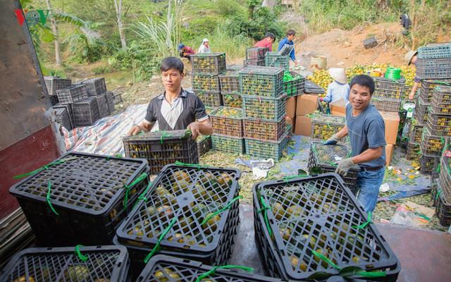 Hơn 50% sản lượng cam sành ở Tuyên Quang đã được thu hoạch sớm phục vụ thị trường miền Nam.