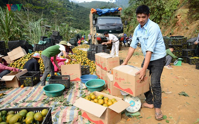 Hiện tại, cam sành đã chín, người tiêu dùng phía Nam chưa biết đến loại cam có màu vàng sậm, cam sành Tuyên Quang chuyển ra tiêu thụ ở miền Bắc và miền Trung.