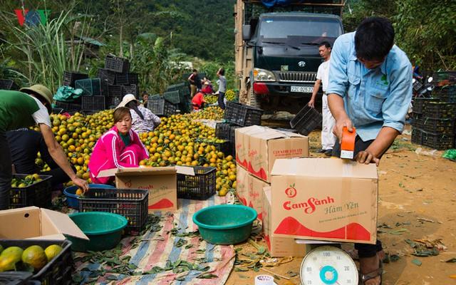 Theo Trung tâm Cây ăn quả huyện Hàm Yên (Tuyên Quang), niên vụ 2016 – 2017 năm suất cam sành tăng trên 13% so với vụ trước.