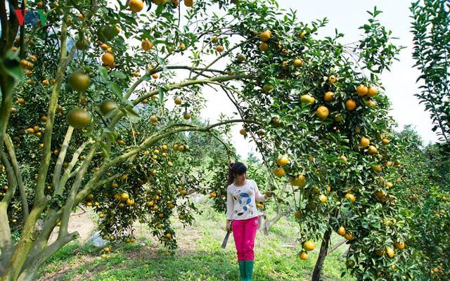 Thời tiết năm vừa qua không thuận lợi nhưng năng suất và sản lượng của cây cam vẫn đạt do trình độ canh tác ngày càng cao của người nông dân.