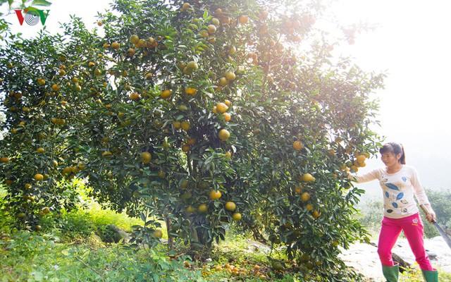 Từ khi được xây dựng thương hiệu năm 2007, các hộ trồng cam ở Tuyên Quang đã canh tác theo hướng an toàn vệ sinh thực phẩm. Đến nay, đã có trên 74 ha được cấp chứng chỉ VietGAP.