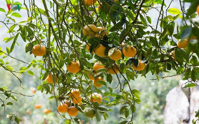 Cây cam sành bắt đầu được trồng đại trà ở Tuyên Quang khoảng đầu những năm 90 của thế kỷ trước và trở thành cây làm giàu của người dân Tuyên Quang.